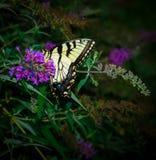 在一朵紫色花的黑脉金斑蝶 图库摄影