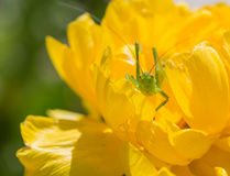 在一朵黄色花的绿色蟋蟀 库存照片