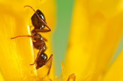 在一朵黄色花的黑蚂蚁 库存照片