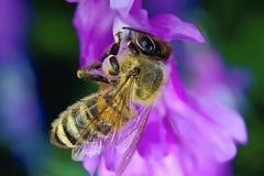 在一朵紫色花的黄蜂在春天 免版税库存图片