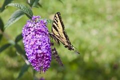在一朵紫色花的蝴蝶 免版税库存图片