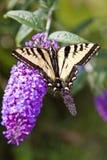 在一朵紫色花的蝴蝶 库存照片