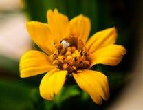 在一朵黄色花的水滴 库存照片