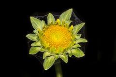 在一朵黄色花的Spiderweb 库存照片