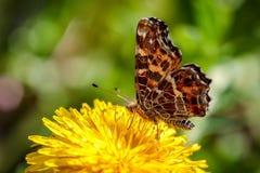 在一朵黄色蒲公英花的美丽的蝴蝶在一个绿色领域 库存照片