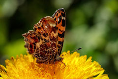 在一朵黄色蒲公英花的美丽的蝴蝶在一个绿色领域 图库摄影
