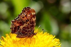 在一朵黄色蒲公英花的美丽的蝴蝶在一个绿色领域 免版税库存图片