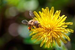 在一朵黄色蒲公英花的蜂收集花粉和gatherin的 库存照片