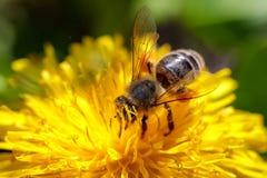 在一朵黄色蒲公英花的蜂收集花粉和gatherin的 库存图片
