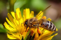 在一朵黄色蒲公英花的蜂收集花粉和gatherin的 图库摄影