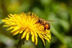 在一朵黄色蒲公英花的蜂收集花粉和gatherin的 免版税库存照片