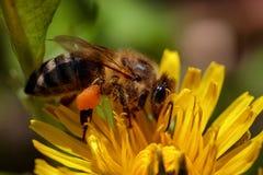 在一朵黄色蒲公英花的蜂收集花粉和gatherin的 免版税库存图片