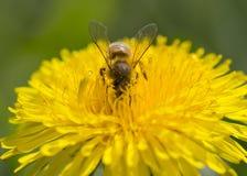 在一朵黄色蒲公英花的蜂收集花粉的 库存图片