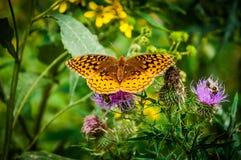 在一朵紫色蓟花的伟大的闪烁的贝母蝴蝶我 免版税库存照片