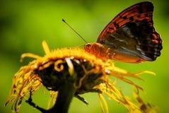在一朵黄色野花的红色蝴蝶在一个绿色自然本底特写镜头 免版税库存图片