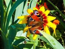 在一朵黄色雏菊的蝴蝶 掌上型计算机场面夏天星期日通知 库存图片
