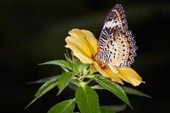 在一朵黄色alamanda花的黑脉金斑蝶,丹尼亚斯plexippus 免版税库存照片