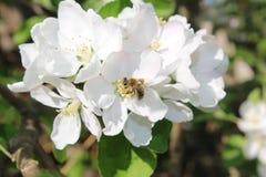 在一束开花的白花的蜜蜂飞行 库存照片