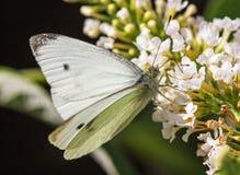 在一束白花的一只小白色蝴蝶 库存照片