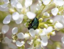 在一束白花的一只甲虫 宏指令 库存图片