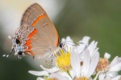 在一束白花的橙色和银色蝴蝶 库存照片