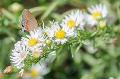 在一束白花的橙色和银色蝴蝶 免版税图库摄影