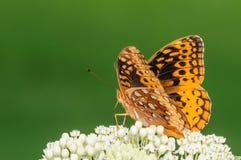 在一束白花的橙色和黑蝴蝶 免版税图库摄影