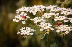 在一束白花的瓢虫 免版税库存照片