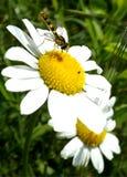 在一束白花的臭虫 库存图片