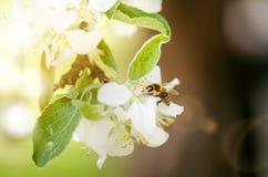 在一束白花的蜂蜜蜂和收集polen 飞行蜜蜂 在阳光天期间,一次蜂飞行 昆虫 免版税图库摄影