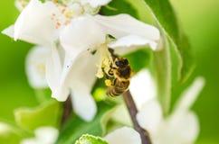 在一束白花的蜂蜜蜂和收集polen 飞行蜜蜂 在阳光天期间,一次蜂飞行 昆虫 免版税库存图片
