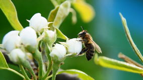 在一束白花的蜂 股票录像
