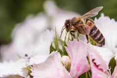 在一束白花的蜂 图库摄影