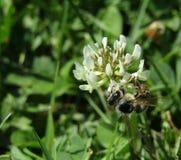 在一束白花的蜂 免版税库存照片