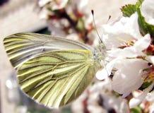 在一束白花的蝴蝶 库存照片
