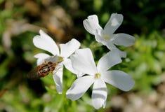 在一束白花的飞行 免版税库存照片