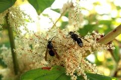 在一束白花的黄蜂 库存照片
