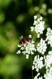 在一束白花的黑和红色镶边方格的甲虫 免版税库存图片