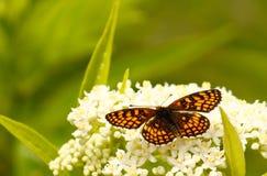 在一束白花的蝴蝶 免版税库存照片