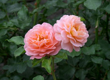 在一束的两朵充分地开花的桃红色玫瑰绿色叶子 免版税图库摄影