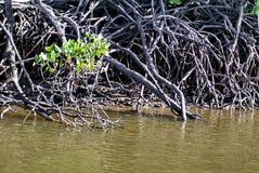 在一条内地运河的美洲红树树 免版税库存照片