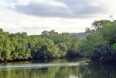 在一条内地运河的美洲红树树 库存图片