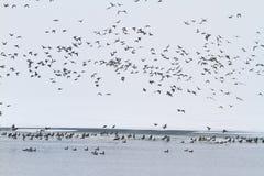 在一条冻河的野鸭 免版税库存照片