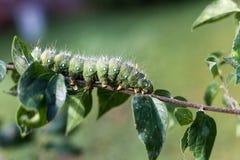 在一条分支/选择聚焦绿色毛虫的皇家飞蛾毛虫在brach 免版税库存图片
