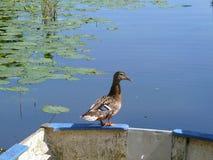 在一条划艇边缘的公鸭子,某处在绿色心脏 库存照片