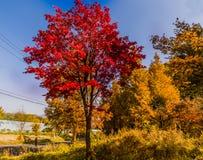 在一条双线道路旁边的糖槭树 库存图片