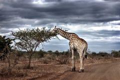 在一条土路的一头长颈鹿反对剧烈的天空 免版税库存照片
