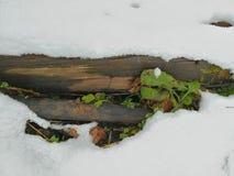 在一条多雪的毯子下的暗藏的绿色 免版税库存图片