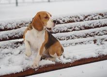 在一条多雪的长凳的小猎犬狗在公园 库存图片