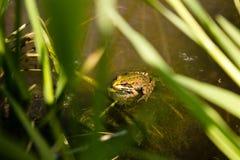 在一条安静的小河的青蛙 免版税库存照片